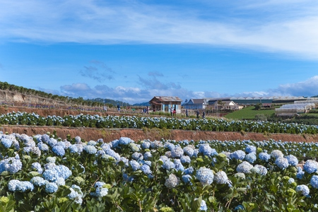 Photo for Field of hydrangeas flowers, these beautiful flowers are grown at land Da Lat, Vietnam - Royalty Free Image