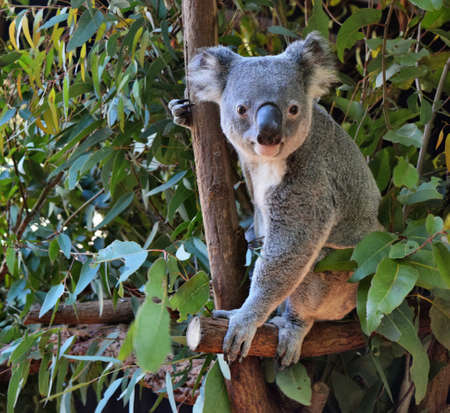 Photo pour Cute koala looking on a tree branch eucalyptus in Australia - image libre de droit