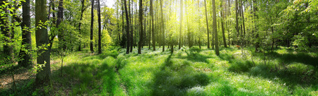 Photo for Panoramic image of a forest at sunrise - Royalty Free Image