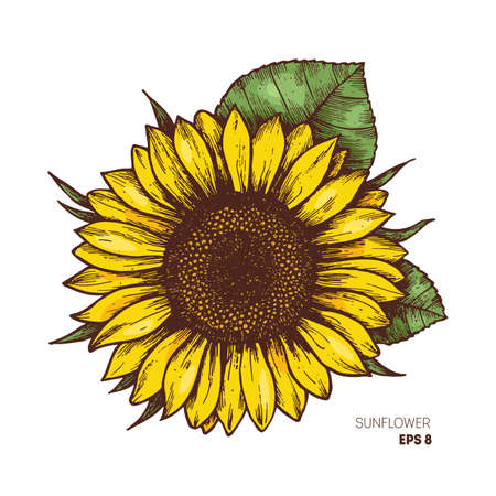 Illustrazione per Sunflower vintage engraved illustration. Sunflower isolated . Vector illustration - Immagini Royalty Free