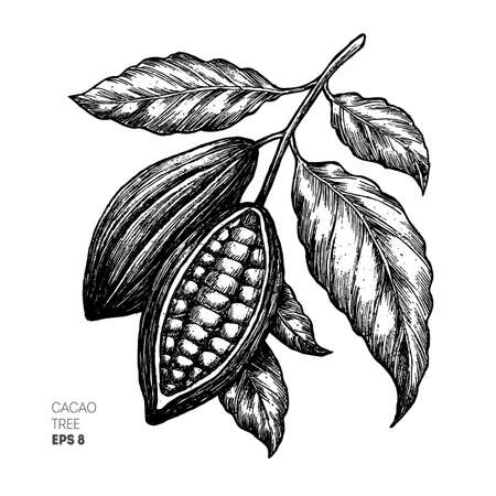 Illustration for Cocoa beans illustration. Engraved style illustration. Chocolate cocoa beans. Vector illustration - Royalty Free Image