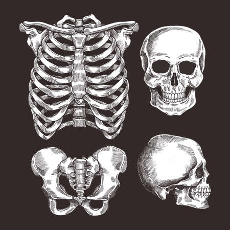 Illustrazione per Human skeleton sketch set. Rib cage, skull. Vector illustration - Immagini Royalty Free