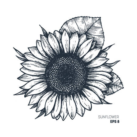 Illustration for Sunflower vintage engraved illustration.  Vector illustration isolated on white background. - Royalty Free Image