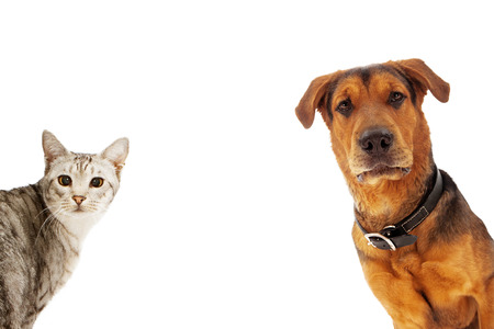 Photo for An adult large breed dog and a silver cat coming into the sides of an image with room for text - Royalty Free Image