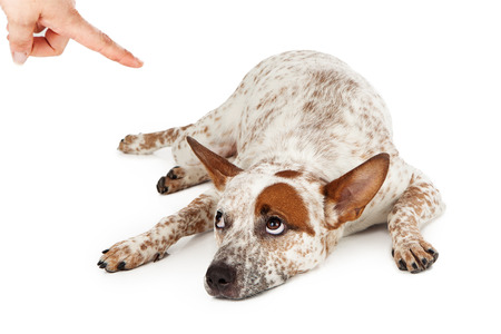 Foto de An Australian Cattle Dog mixed breed laying down on the floor and rolling his eyes up at a finger being pointed at him as he is being scolded.  - Imagen libre de derechos