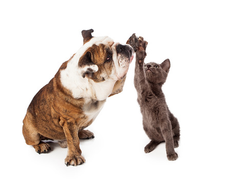 Foto de A large Bulldog and a little gray kittn raising their paws to give a friendly high five gesture. Isolated against a white backdrop - Imagen libre de derechos