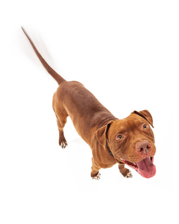 Foto de A happy red Pit Bull dog with intentional motion blur showing his tail wagging as he is looking up with a smile - Imagen libre de derechos