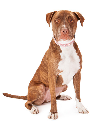 Photo pour A pretty female Pit Bull dog wearing a pink collar sitting against a white background - image libre de droit