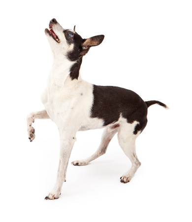 Photo pour Profile of a Rat Terrier dog isolated on white with one paw up while he is looking up at a treat - image libre de droit