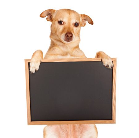 Chihuahua mixed breed dog sitting up and holding a blank black chalk board sign for you to enter your message on.