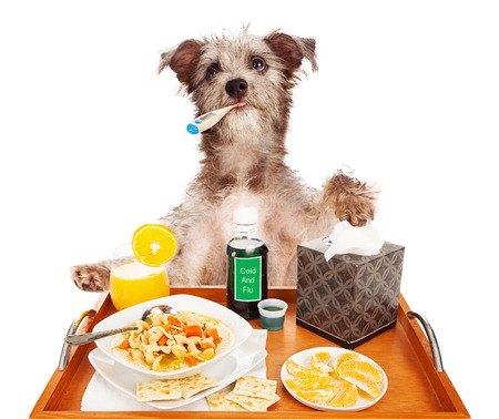 Foto de A cute terrier mixed breed dog sick with the flu with a thermometer in his mouth, a tray of chicken noodle soup, orange slices and juice for vitamin C, cold medicine and tissue.  - Imagen libre de derechos