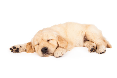 Foto de A cute little six week old Golden Retriever puppy sleeping on a white background - Imagen libre de derechos
