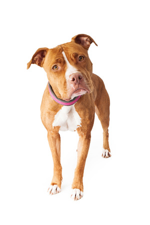 Photo pour Pit Bull dog standing and looking at the camera with head tilted - image libre de droit