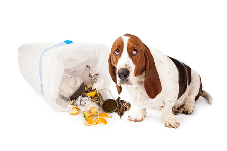 Photo for Basset Hound dog looking up with a guilty expression while sitting next to a tipped over garbage can  - Royalty Free Image