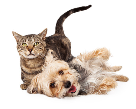 Photo pour A cute and playful mixed breed terrier dog and a tabby cat laying together  - image libre de droit