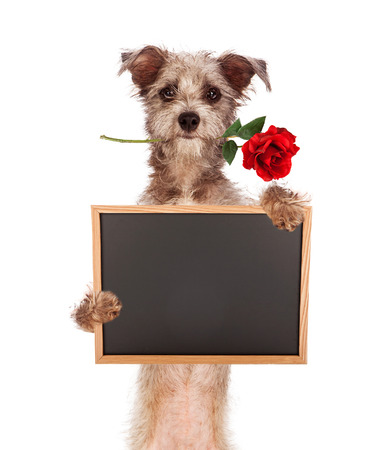 Photo pour A cute scruffy terrier mixed breed dog standing up, carrying a red rose in his mouth and holding a blank chalkboard sign. Enter your own message using chalk font.  - image libre de droit