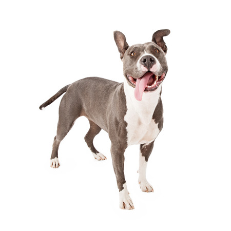Photo pour A young gray Pit Bull dog with a funny expression and his tongue hanging out - image libre de droit