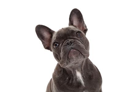 Photo pour A cute little blue color  French Bulldog - image libre de droit