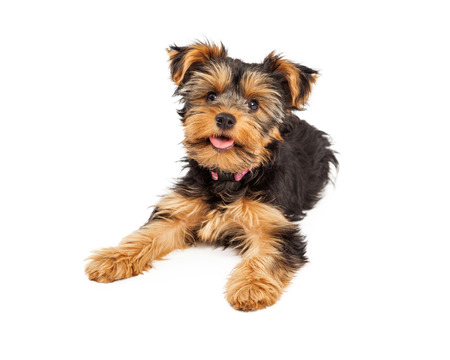 Foto de A happy and cute little Teacup Yorkie puppy dog laying - Imagen libre de derechos