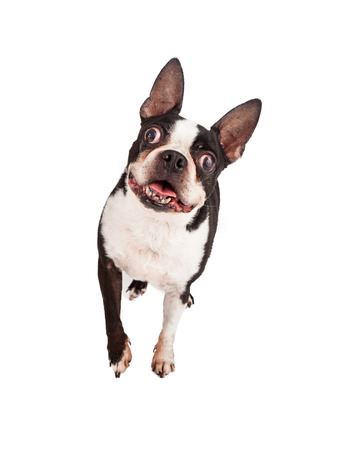 Photo pour A happy Boston Terrier dog looking and walking forward - image libre de droit