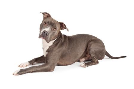 Photo pour A beautiful blue coated American Staffordshire Terrier dog - image libre de droit