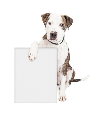 Cute and friendly Pit Bull Dog holding a blank sign to enter your marketing message on.