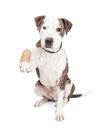 Photo pour Cute and friendly Pit Bull Dog holding up an injured and bandaged paw - image libre de droit