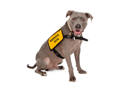 Photo pour A happy blue Pit Bull dog wearing a yellow service dog vest - image libre de droit