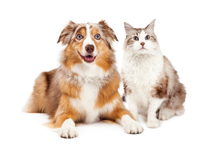 Photo for A cute cat and happy Australian Shepherd dog, sitting together - Royalty Free Image