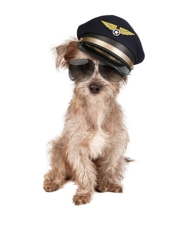 Photo pour Terrier dog dressed as an airline pilot with hat and glasses - image libre de droit