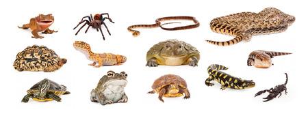 Photo pour Composite of exotic pets including geckos, tarantula, snakes, turtles, toads, salamander, skink and scorpion - image libre de droit
