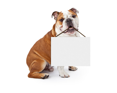 Photo pour A young nine month old English Bulldog sitting against a white background holding a blank sign in his mouth - image libre de droit