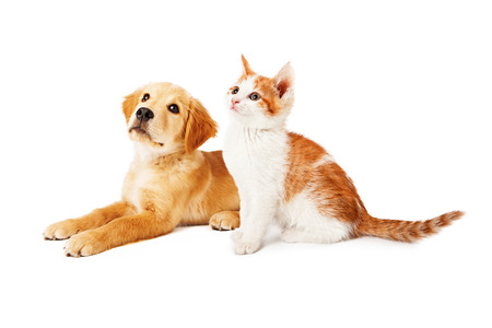 A cute orange and white six kitten and a Golden Retriever puppy sitting together and looking up and to the side