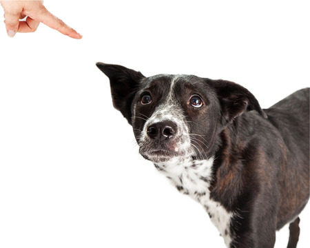 Foto de A scared Australian Shepherd Mixed Breed Dog looking up at his owner scolding him and pointing a finger - Imagen libre de derechos