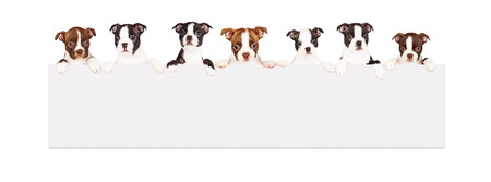 Photo pour A row of seven week old Boston Terrier breed puppies hanging over a long blank banner. Isolated on white. - image libre de droit