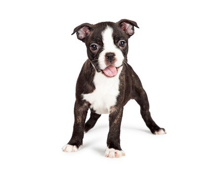 Photo pour A cute and happy seven week old Boston Terrier puppy with mouth open smiling - image libre de droit