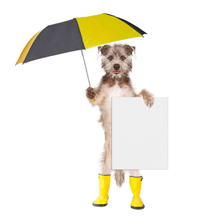 Cute terrier dog wearing yellow rain boots holding umbrella and blank sign