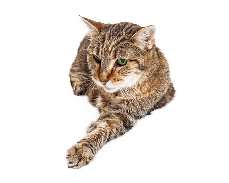 Photo for A senior tabby cat laying on a white background with one paw stretched forward - Royalty Free Image