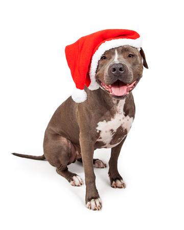 Photo pour Happy and smiling grey color Pit Bull dog wearing a red Christmas Santa Claus hat - image libre de droit