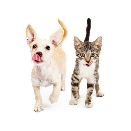 Cute little small breed puppy and kitten walking forward with their tongues sticking out to lick their lips. Add your treat or food product in front of them.