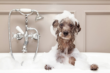 Foto de A cute little terrier breed dog taking a bubble bath with his paws up on the rim of the tub - Imagen libre de derechos