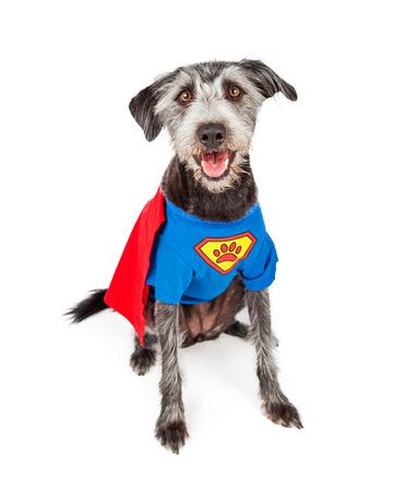 Foto de Cute and happy terrier crossbreed dog dressed in a super hero costume - Imagen libre de derechos
