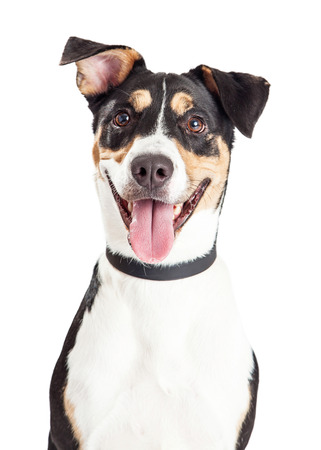 Head shot of a cute and happy mixed breed medium size dog with mouth open and tongue out