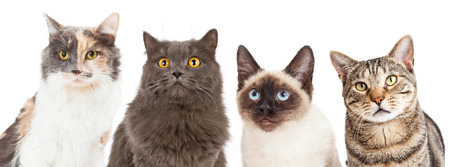 Close-up image of four different breed cats looking forward at the camera
