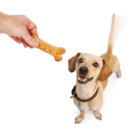Foto de A happy young Dachshund and Chihuahua cross-breed puppy dog with motion blur from a wagging tail looking up at a human hand holding a biscuit treat - Imagen libre de derechos