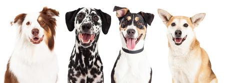 Photo pour Close-up head shots of four happy and smiling dogs of different breeds - image libre de droit