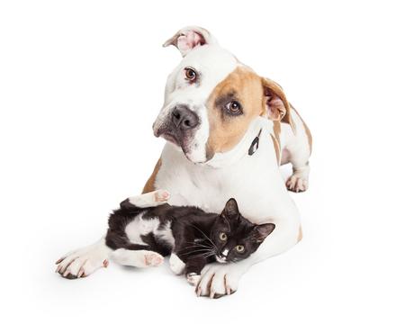 Foto de Beautiful and friendly Pit Bull dog with a playful little kitten laying across her legs - Imagen libre de derechos
