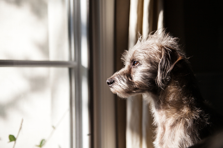 Photo pour Cute little terrier crossbreed dog looking out a window with morning light illuminating his face - image libre de droit