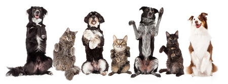 Photo pour Row of cats and dogs together sitting up and begging. Image sized to fit a popular social media timeline cover photo placeholder. - image libre de droit