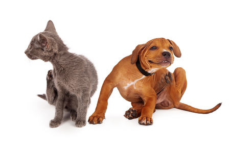 Foto de A small kitten and puppy sitting together on a white background and scratching - Imagen libre de derechos
